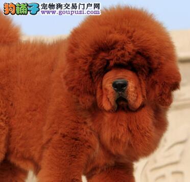 北京售狮头藏獒幼犬公母全有疫苗齐全已驱虫可视频看狗图片