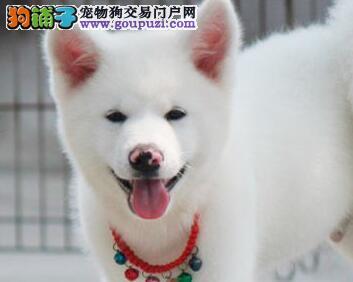 如何能够拥有一只优秀的秋田犬幼犬