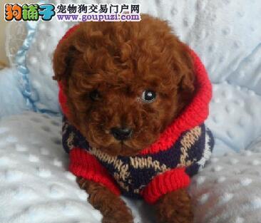 专业的贵宾犬犬舍终身保健康微信咨询看狗狗照片