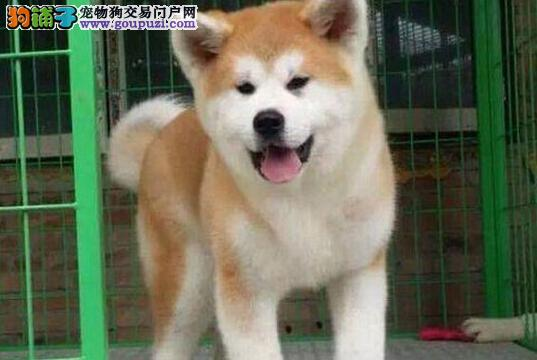 济南狗场直销出售品质极佳的秋田犬 证书芯片齐全