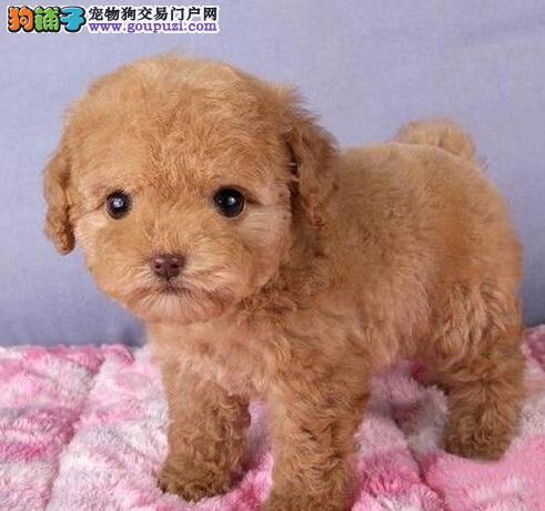 公母均有的济南泰迪犬找爸爸妈妈 爱狗人士上门选购3