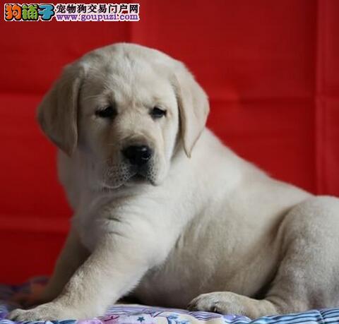 极品拉布拉多出售 血统认证保健康 购犬可签协议