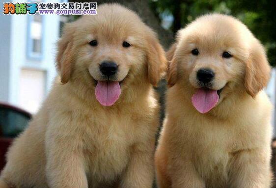 广州品相极好金毛寻回犬出售非常健康个人家养的哦