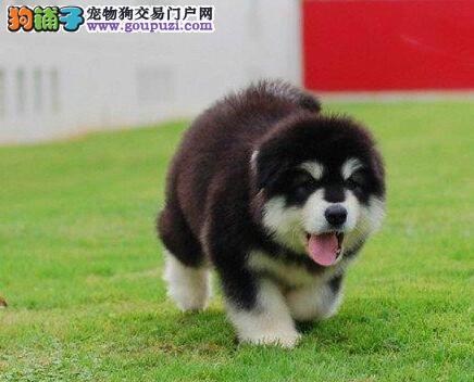 售纯种健康品质极佳的长沙阿拉斯加犬 可送狗上门挑选