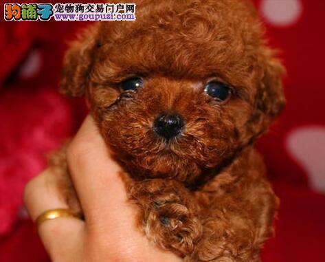 精品泰迪犬幼犬一对一视频服务买着放心赛级品质保障