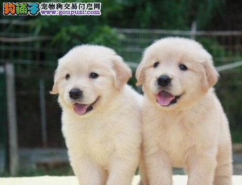 深圳 纯种健康漂亮金毛幼犬,身体健康品质有保证可上门