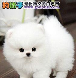 楚雄州售血统纯白色哈多利博美犬品相好骨骼小包养活