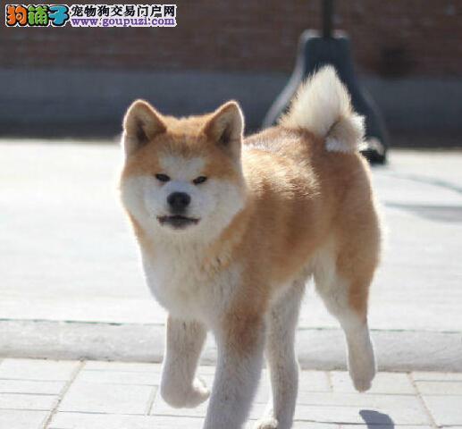 宜昌出售纯种秋田犬 保证健康 签订售后三年联保协议