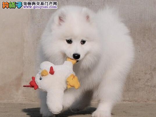 天津犬业出售纯种极品澳版萨摩耶