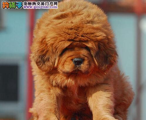 敖中霸王 顶级藏獒幼犬乌鲁木齐出售 骨骼粗大高大威猛