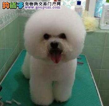 犬舍特价比熊犬重庆签合同出售棉花糖比熊犬幼犬