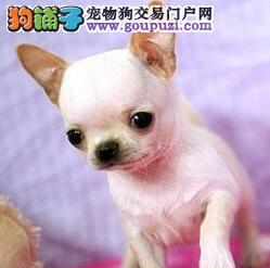 大连实体狗场出售超小体大眼睛的吉娃娃幼犬 欲购从速