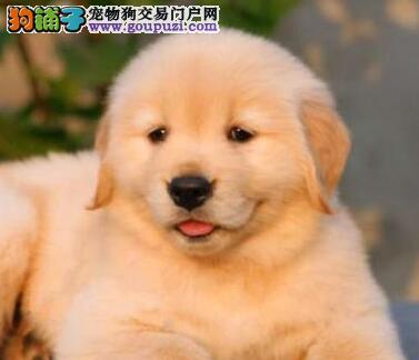 金毛犬总尿尿是不是生病了啊