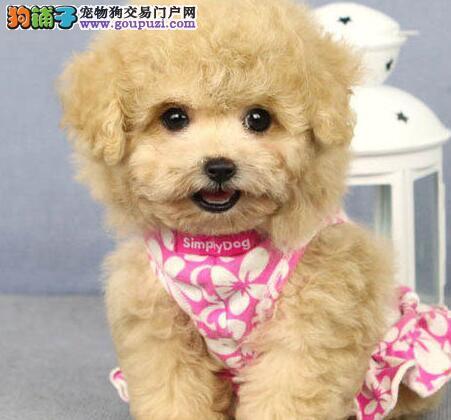 CKU犬舍认证出售高品质铜仁泰迪犬看父母照片喜欢加微信2