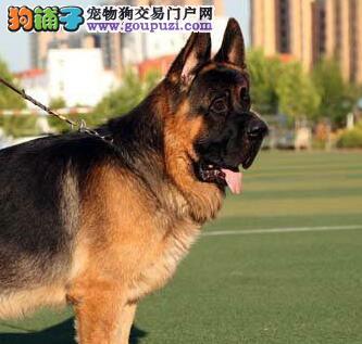 德国牧羊犬一种最害怕的两种东西