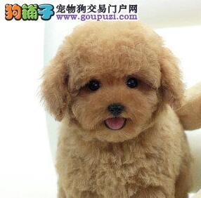 CKU犬舍认证出售高品质铜仁泰迪犬看父母照片喜欢加微信1