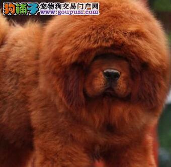 广州售狮头藏獒幼犬 健康疫苗驱虫已做藏獒犬欢迎选购