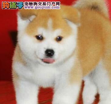 精品纯种秋田犬出售质量三包狗贩子请勿扰