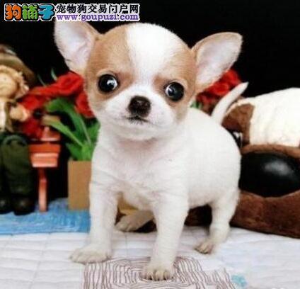 苹果头吉娃娃体型娇小 对其他狗不胆怯 十分勇敢4