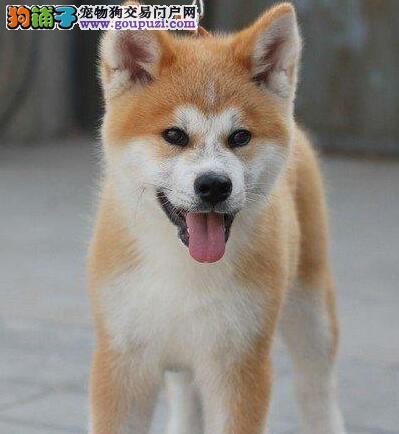 上海哪里有卖秋田犬的 纯种秋田幼犬好多钱一只