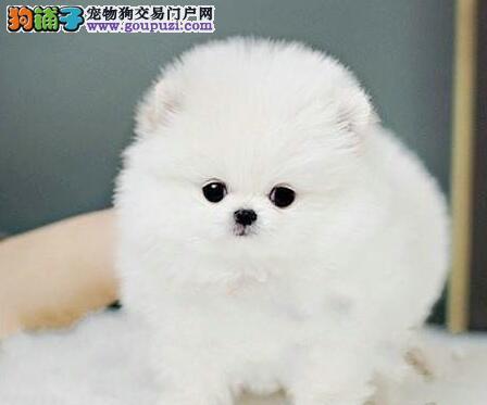 重庆市出售博美犬幼犬 可视频看狗 全国包邮 协议质保