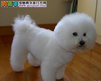 曲靖女神必备爱犬,大眼睛比熊宝宝,五一钜惠