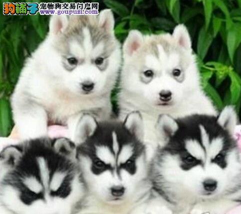 昆明犬舍出售纯种哈士奇宝宝 公母都有 活泼可爱