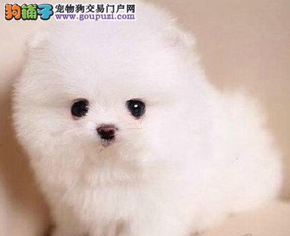武汉自家狗场繁殖博美犬品质健康有保障可刷卡签协议