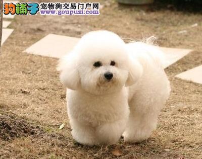 青岛买小体比熊犬保纯种健康签协议 可爱活泼棉花糖