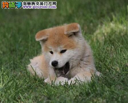 丽水自家繁殖赛级血统秋田犬 品相好性格稳定适合家养
