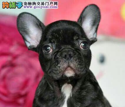法国斗牛犬幼犬热销中、纯度第一价位最低、三年联保协议