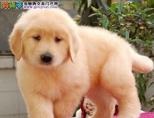 正常情况下金毛犬怀孕多少天会生宝宝5