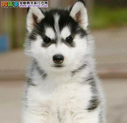 南京特价销售二哈出售西伯利亚雪橇犬哈士奇蓝眼三把火