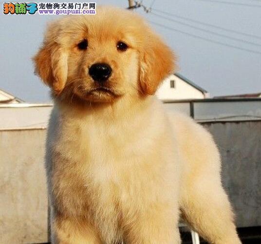 齐齐哈尔繁育可爱温顺小金毛犬价格美丽品质优良金毛