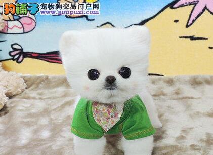 出售纯种小型的杭州博美幼犬 驱虫疫苗都已经做完