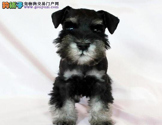 家养雪纳瑞出售,纯正血统完善服务,提供养狗指导