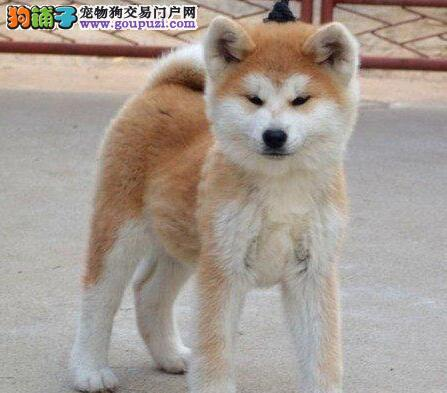 兰州出售自家繁育的健康赛级日本秋田犬幼犬宠物级