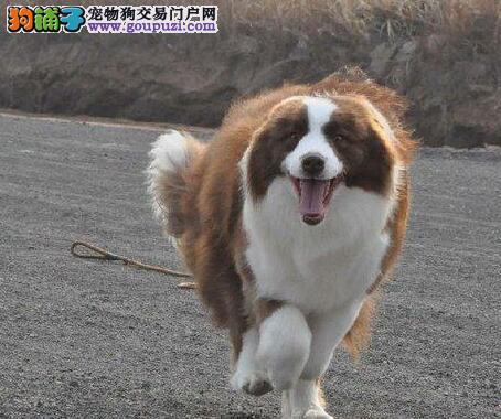 太原犬舍出售血统好品质好的边境牧羊犬 来场可见种犬