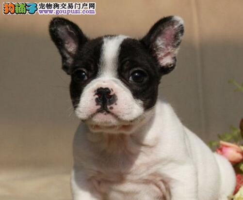 出售多只三个月的台州斗牛犬 保证品质终身免费售后