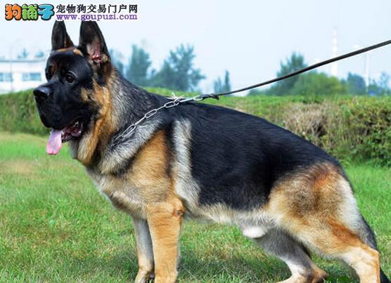 饲主日常喂养德国牧羊犬要从哪方面抓起