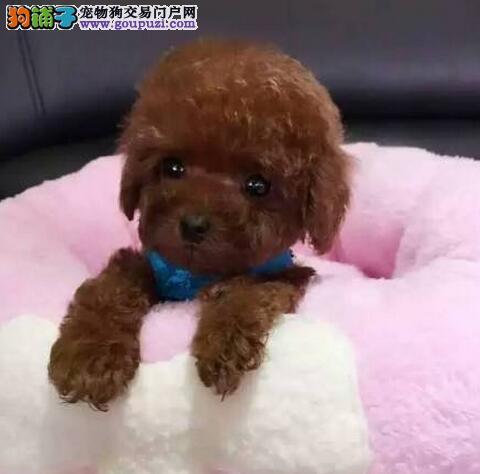 揭阳市出售泰迪犬幼犬 公母都有可视频看狗全国发货