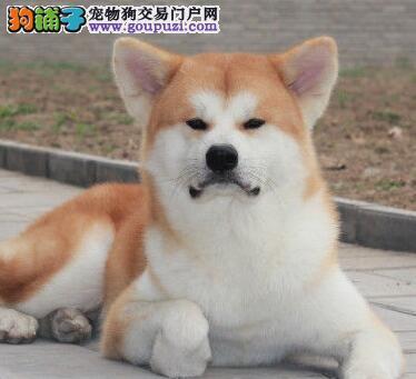 日本秋田犬 忠贞不二的终身伴侣犬