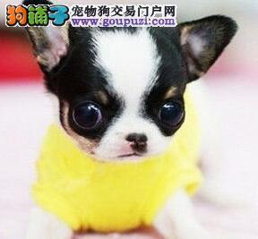 济宁狗舍热卖纯种吉娃娃苹果头杏仁眼掌中宝