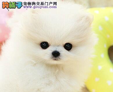 杭州自家白色博美狗狗转让纯种球体迷你博美长不大宝宝