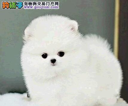 宁波实体犬舍直销哈多利血系的博美犬 保证品质和血统