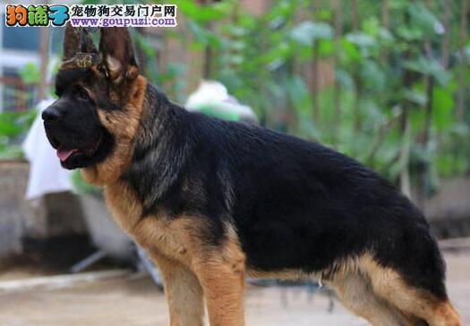 转让黑背大头乖巧听话的宁波德国牧羊犬 签订售后协议