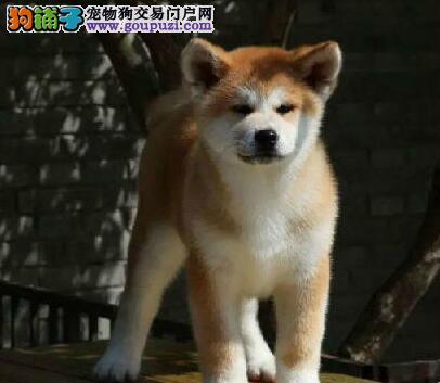 纯种高品质秋田犬出售 公母都有 疫苗齐全 可上门选购