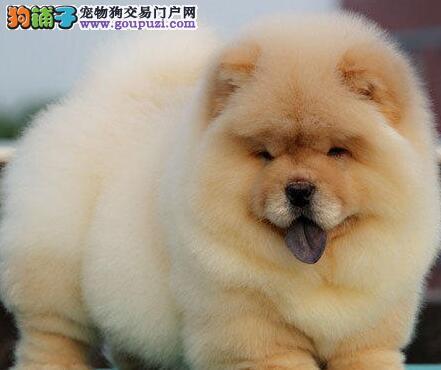 憨厚忠诚胖嘟嘟的松狮犬找新家 宁波的朋友上门看种犬