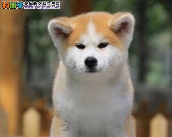 纯种日本济南秋田犬开售啦 欢迎打电话提前预定
