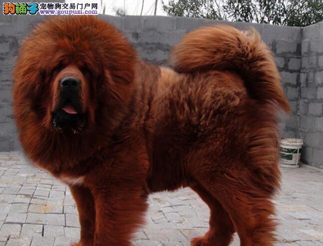 济南实体獒园出售大狮头藏獒幼崽 多种血统供大家选购